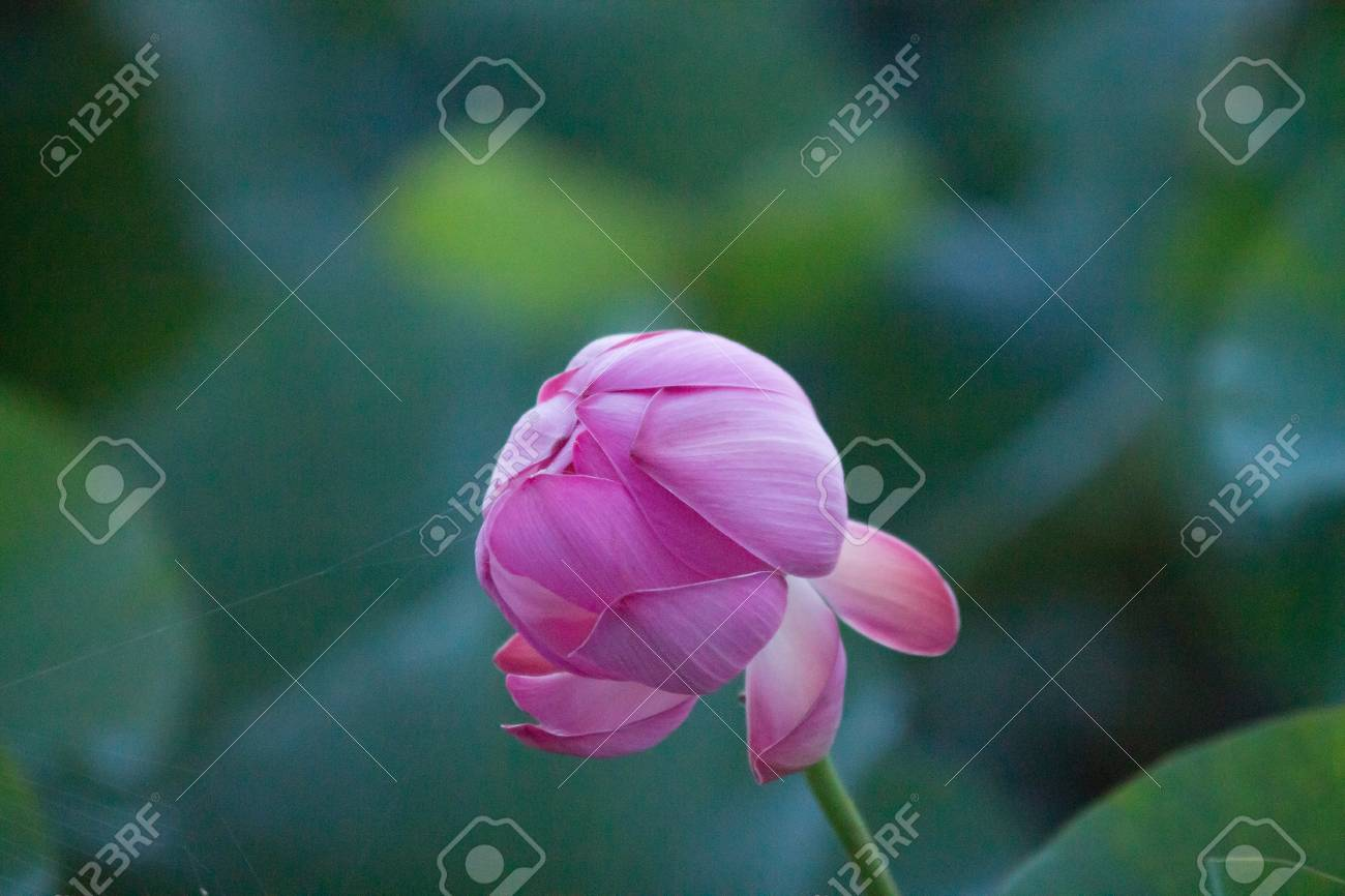 A Lonely Closed Red Lotus Flower Among Green Foliage Stock Photo