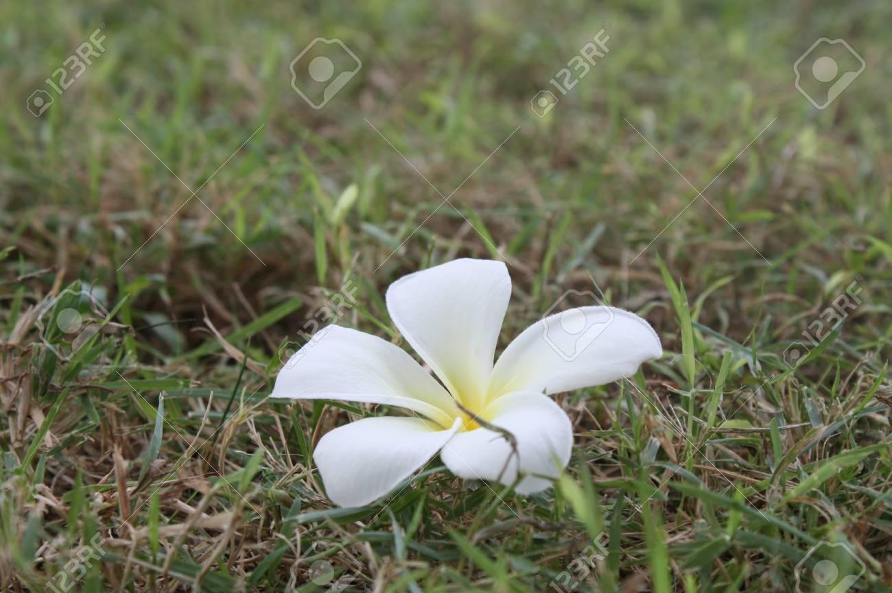 Frangipani bali solar flower Stock Photo - 13276552