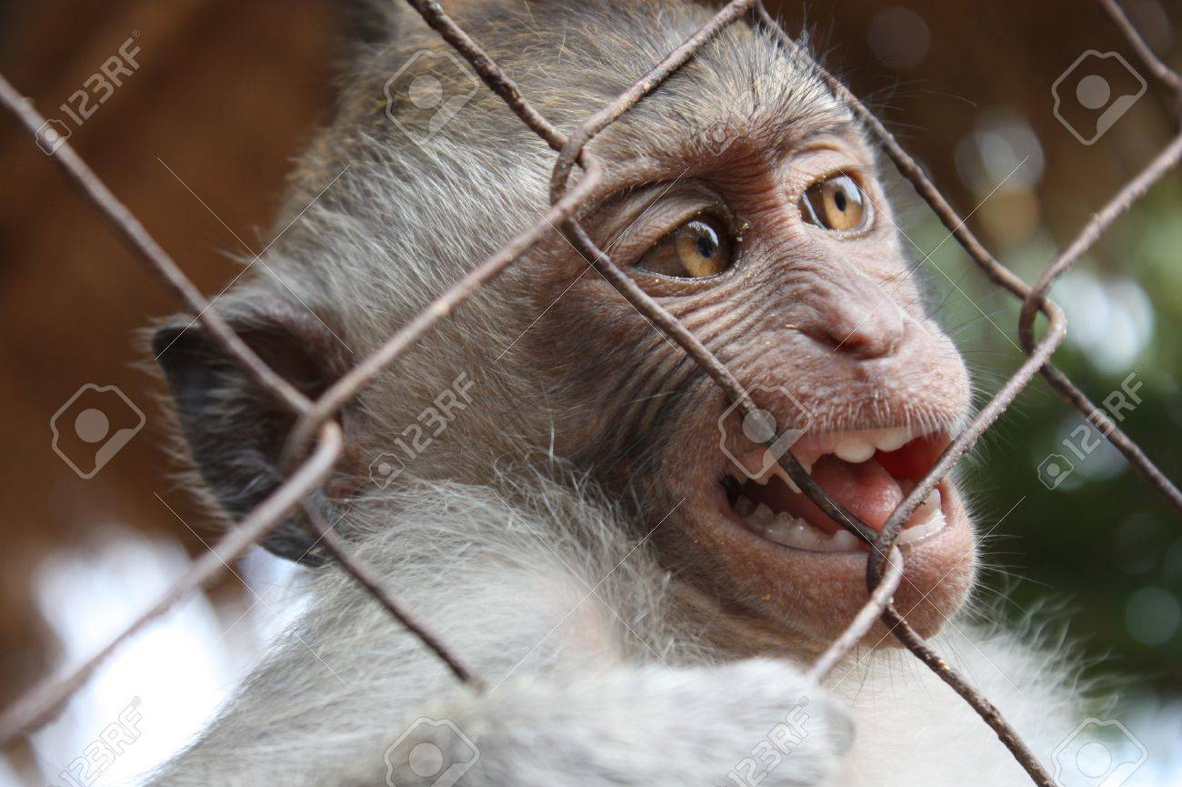 Monkey bali small in a cage Stock Photo - 13276557