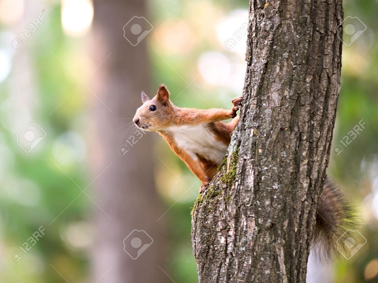 Red squirrel sitting on the tree - 7995636