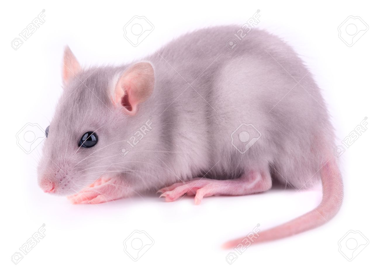 Baby rat (1 month old) Stock Photo - 13814737