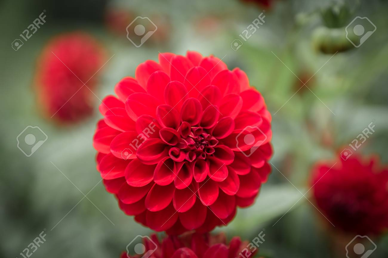 Dahlia Flower In Red Color - Closeup With Blurred Background Stock ...
