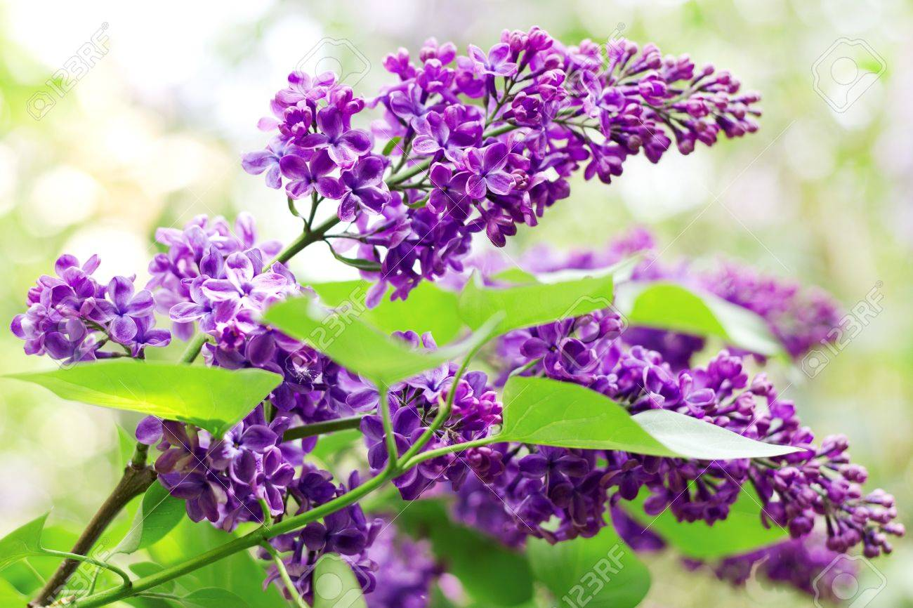 Close up of branches with blooming lilac in spring time Stock Photo - 13569395