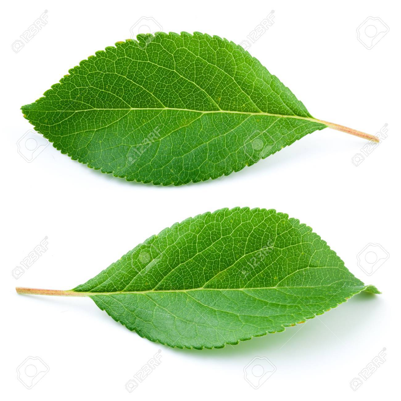 Plum leaves isolated on white background - 57051883