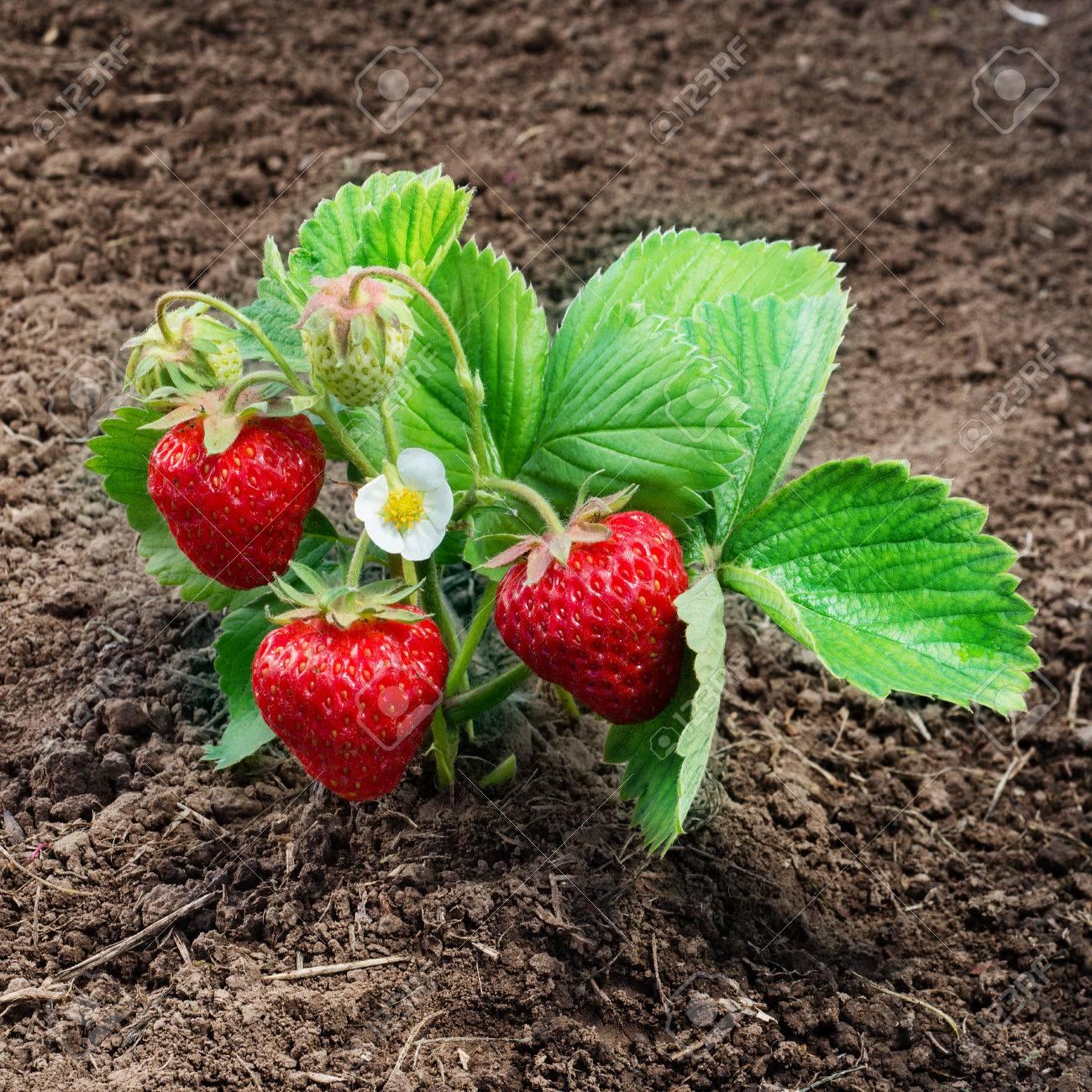 Strawberry bush grow in garden - 59831173