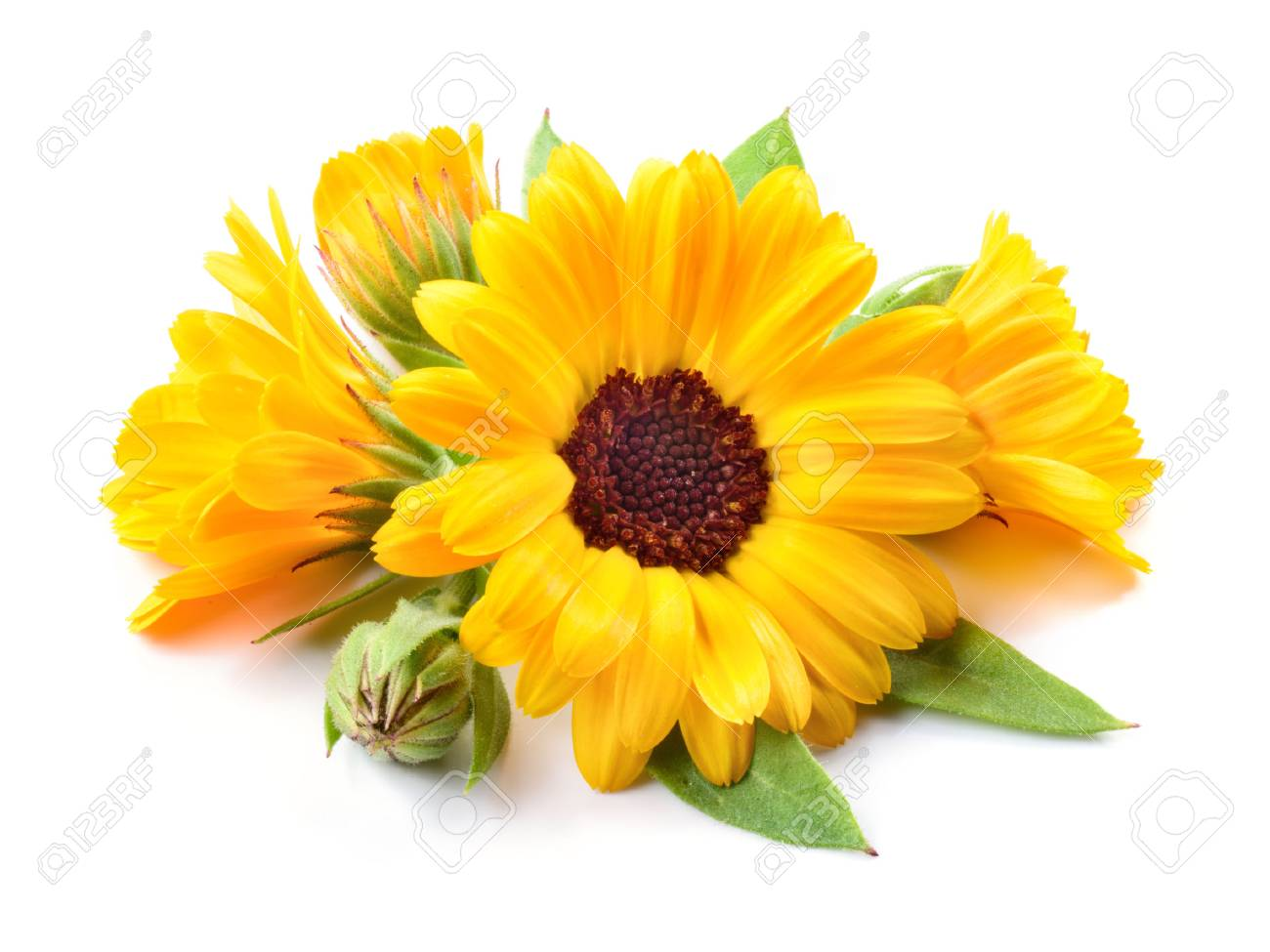 Calendula. Flowers with leaves isolated on white - 62542491