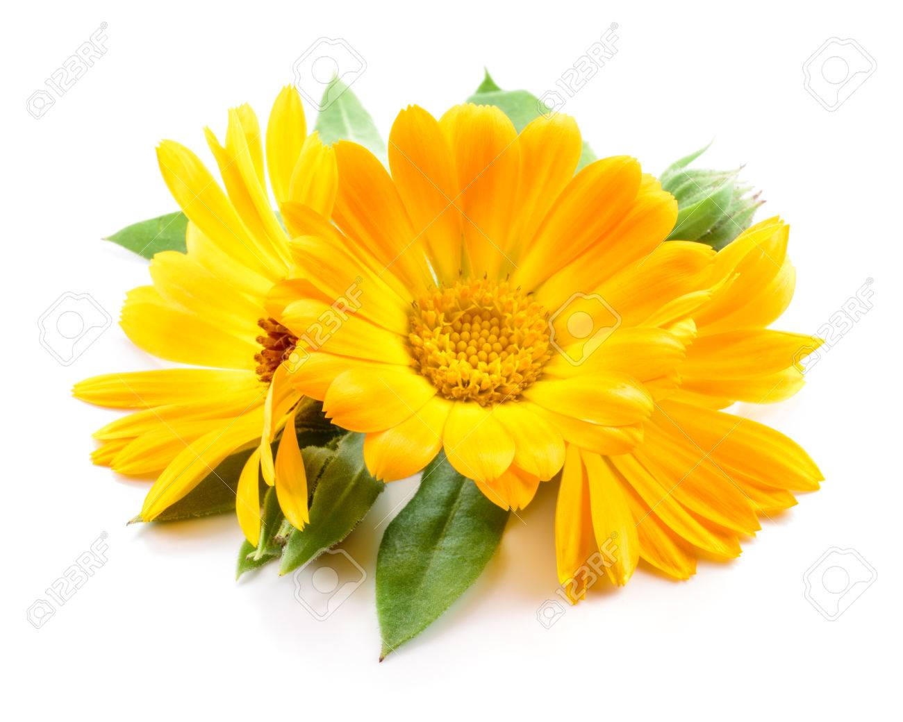 Calendula. Flowers with leaves isolated on white - 65198039