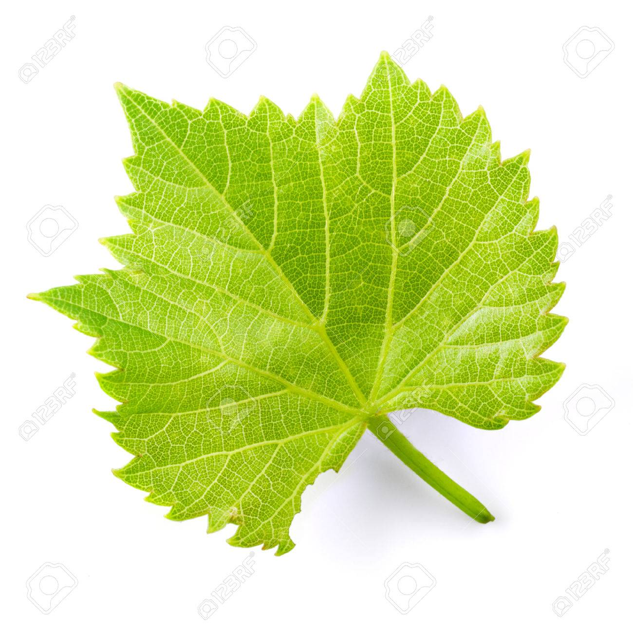 Grape leaf isolated on white. - 65231419