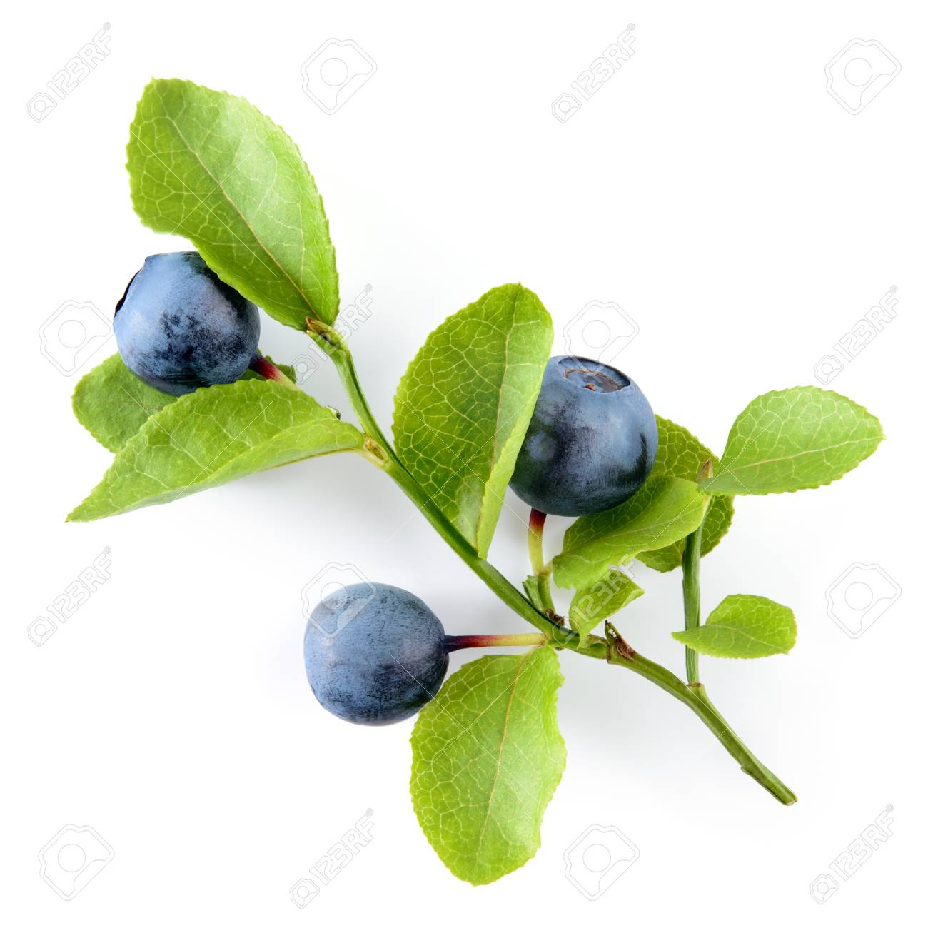 Blueberry. Branch with leaves isolated. Blueberries on white background - 94883192