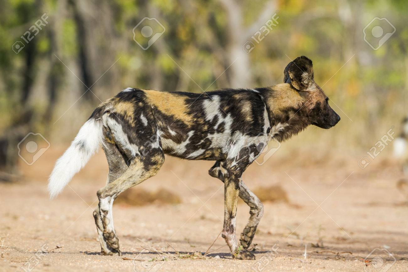 African Wild Dog, South Africa; Specie Lycaon Pictus Family Of.. Stock Photo, Picture And Royalty Free Image. Image 79068077.