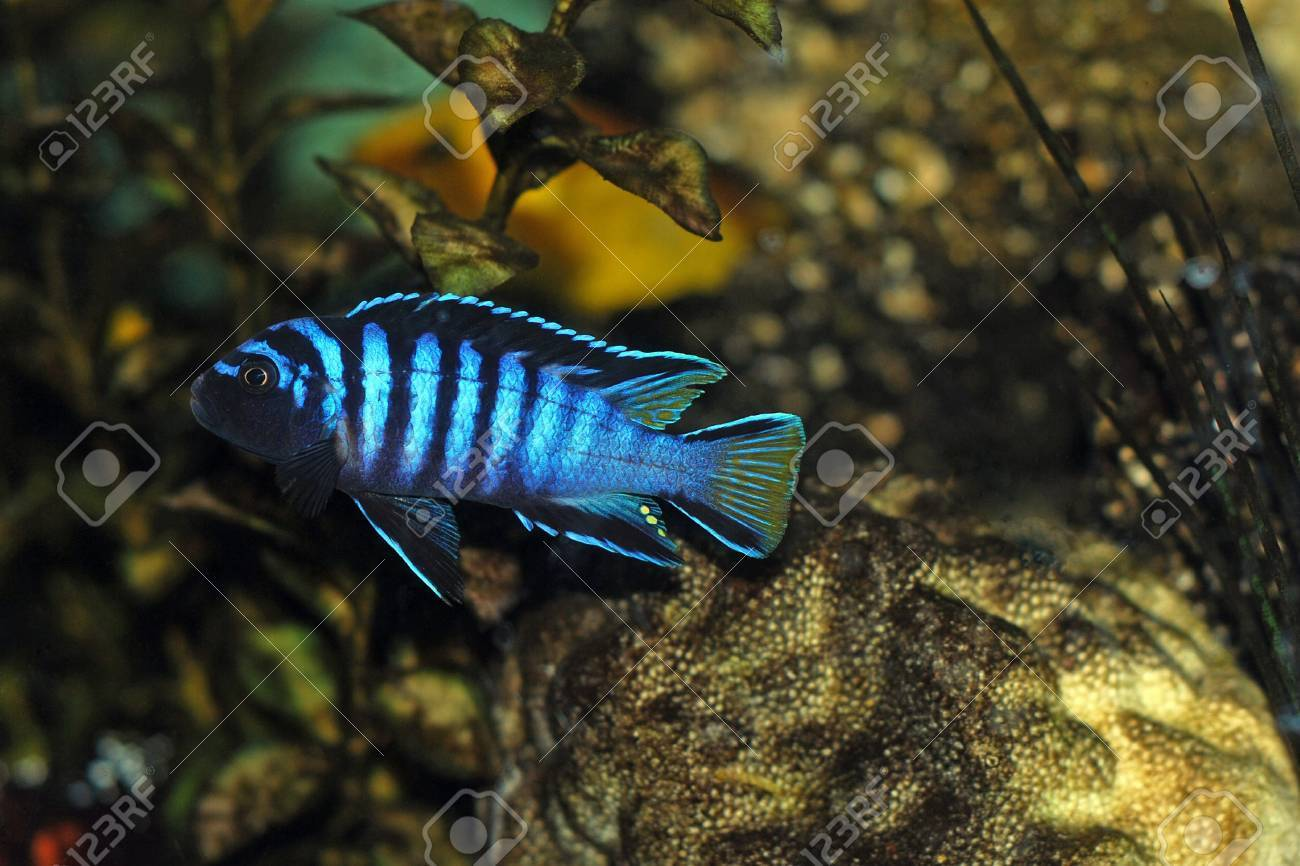 Cichlid fish in aquarium Stock Photo - 787764