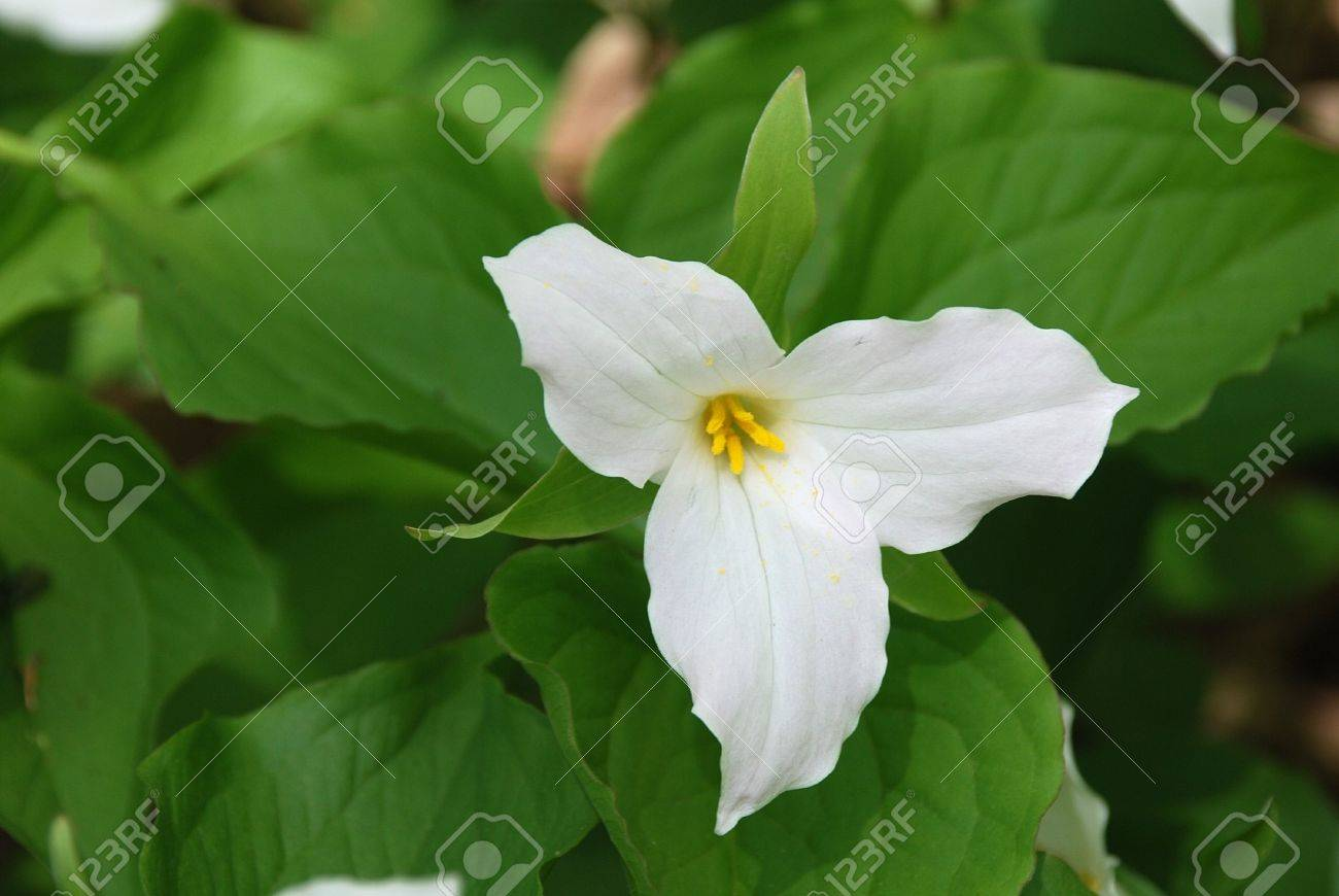 white trillium flower blooming. ontario flower. stock photo, Beautiful flower