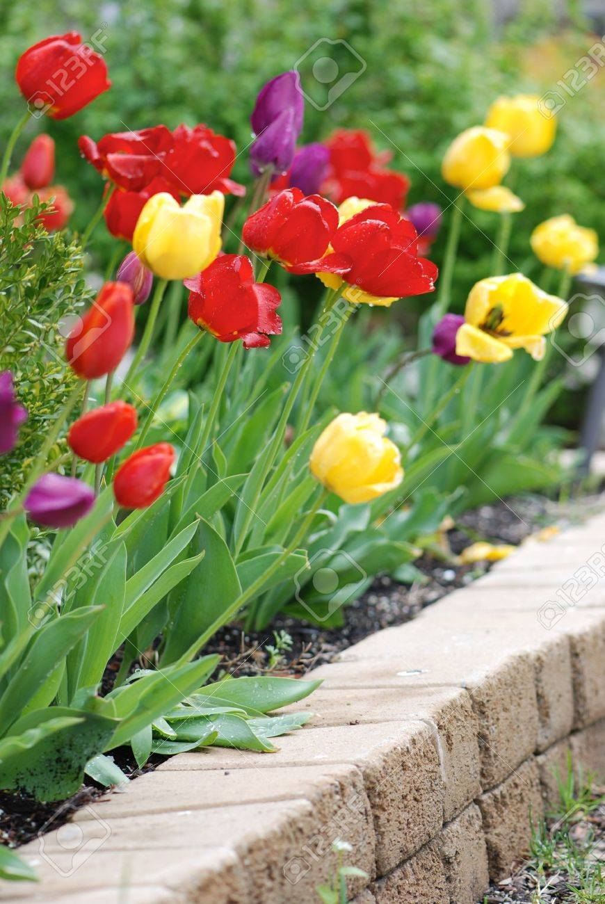 Multicolored tulips in a landscaped garden Stock Photo - 9585295