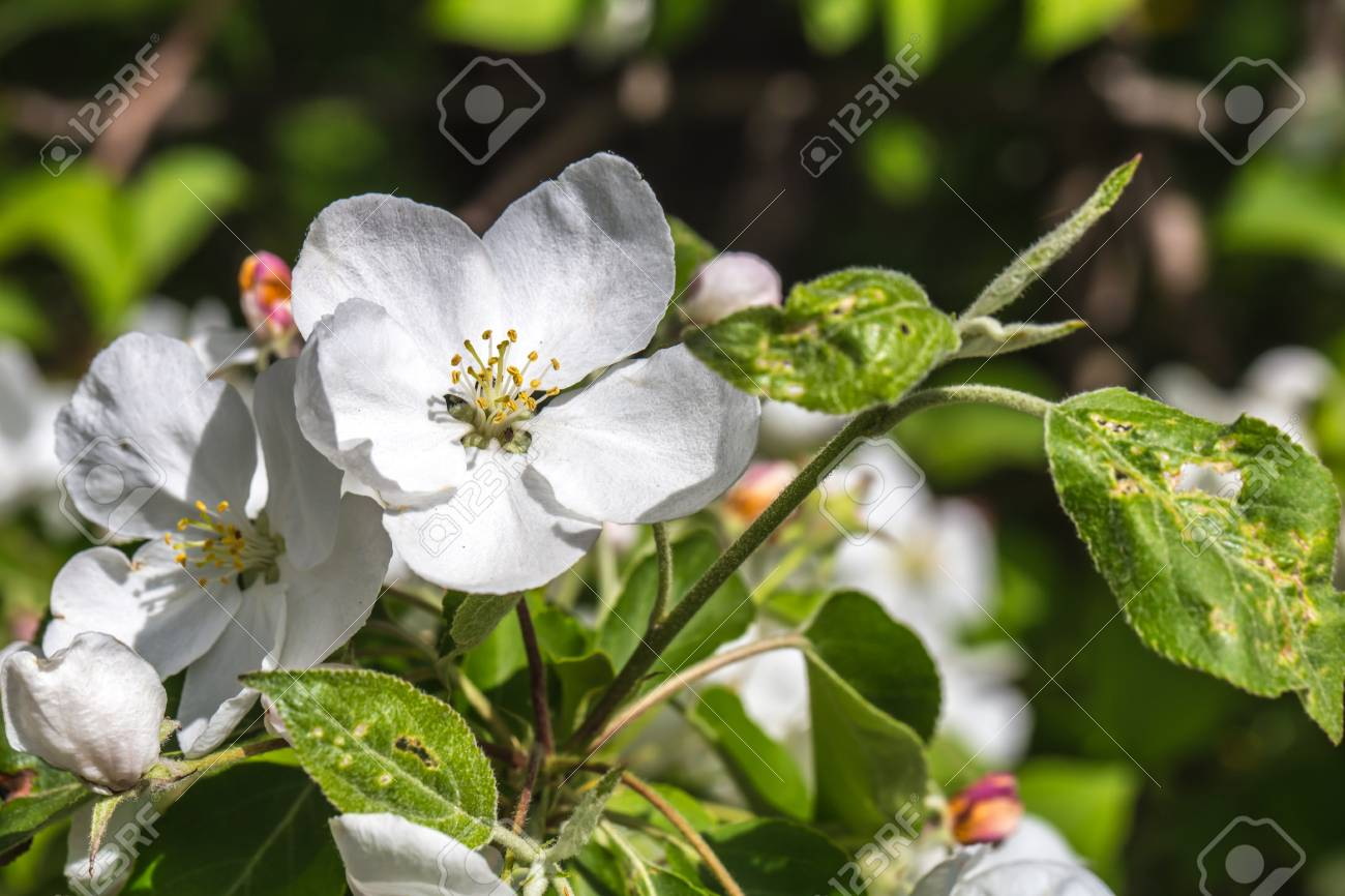Flowering Crabapple Tree Closeupconcept Of Flowers And Spring Stock