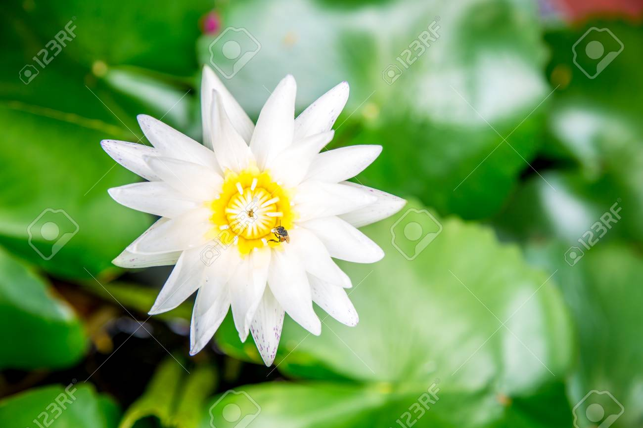 White Lotus Flower On A Background Of Leaves And Water Closeup