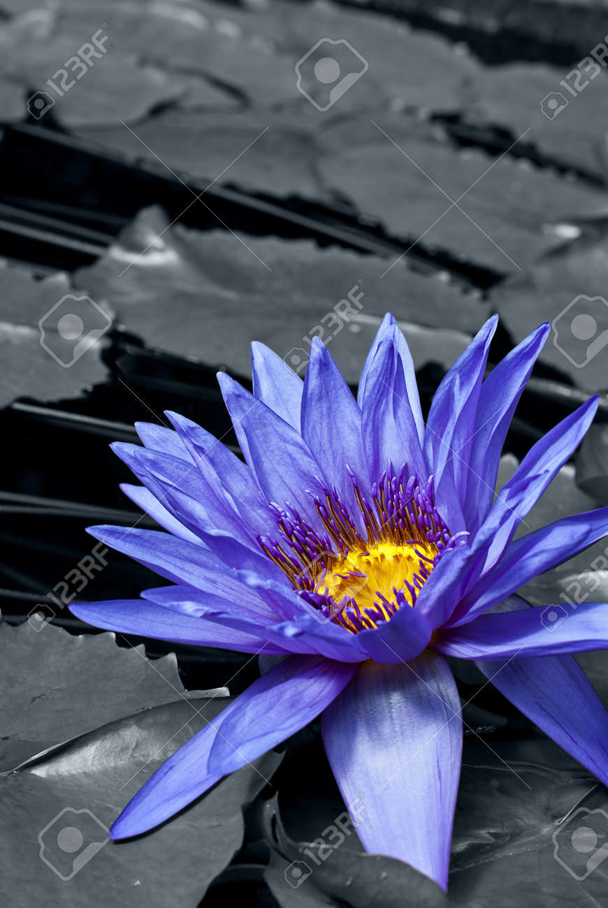 Tropical Waterlily Nymphaea Director George T Moore, colorkey effect Stock Photo - 10824983