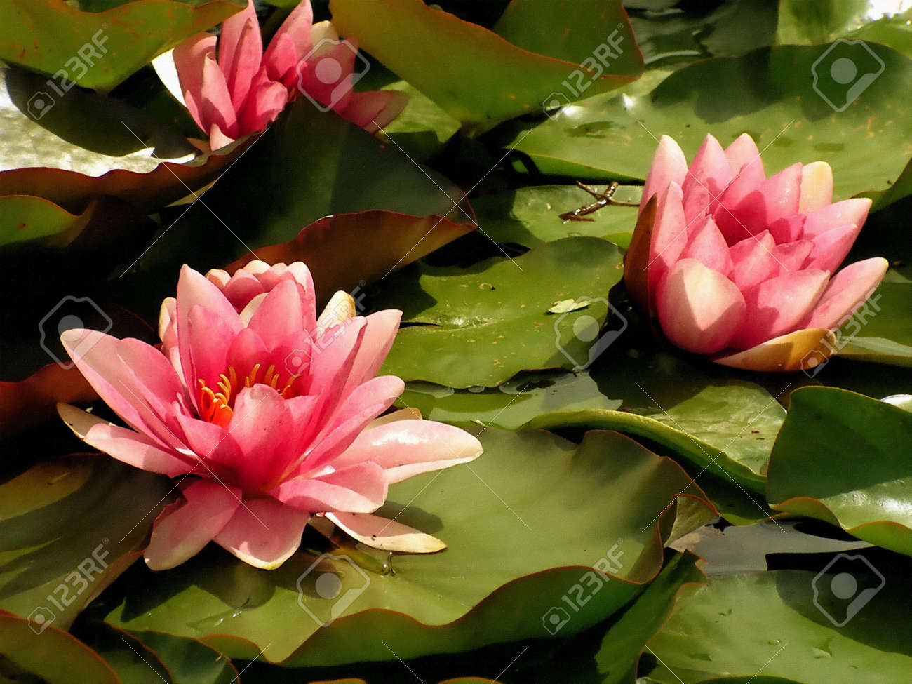 Water lily images stock pictures royalty free water lily photos water lily pink water lilies dhlflorist Images