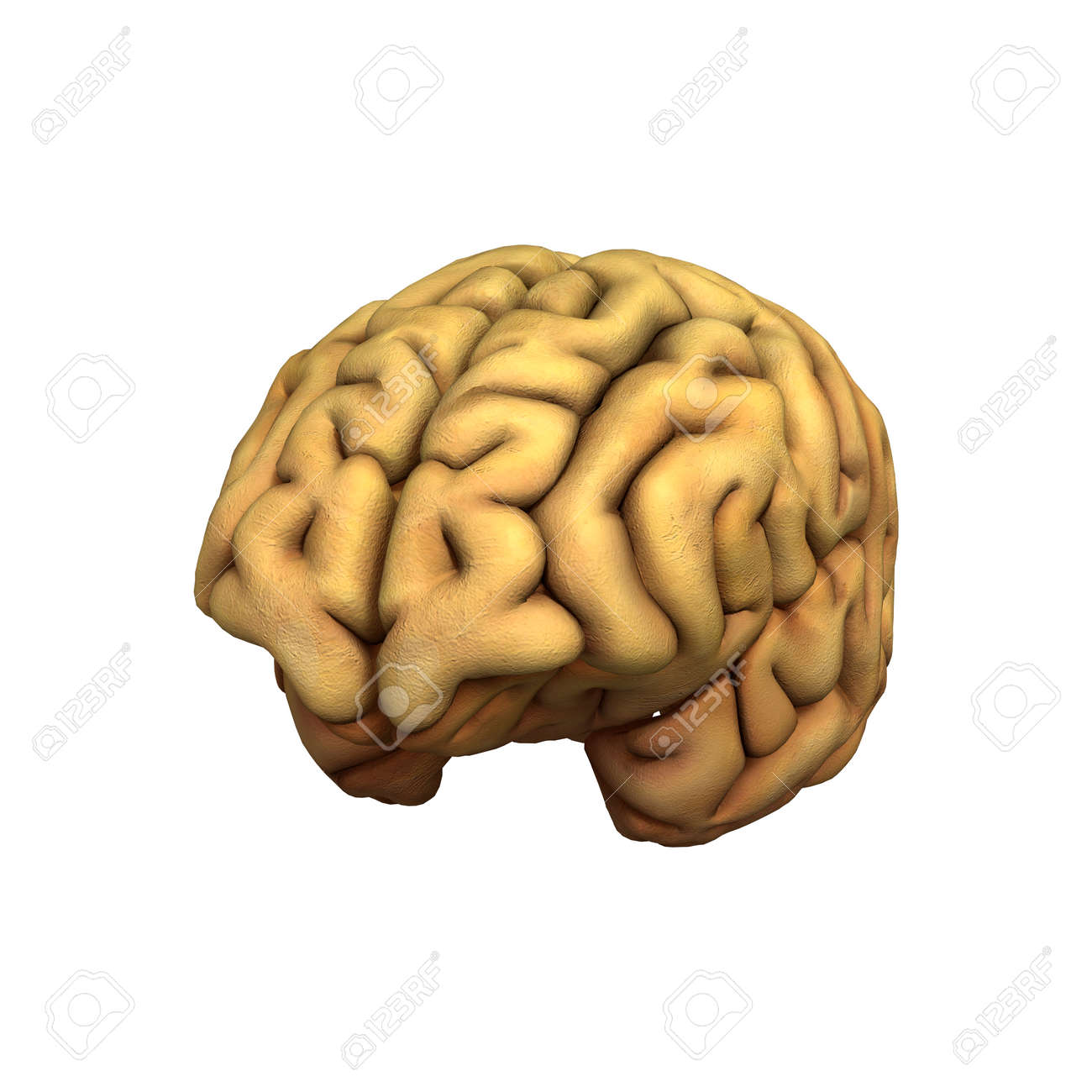 3d digital render of a human brain isolated on white background
