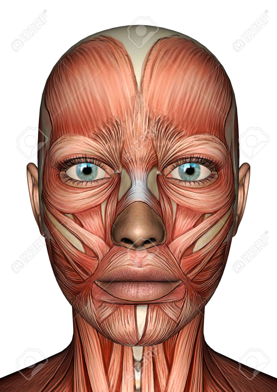 3D Digital Render Of A Female Anatomy Face With Muscles Map Isolated ...