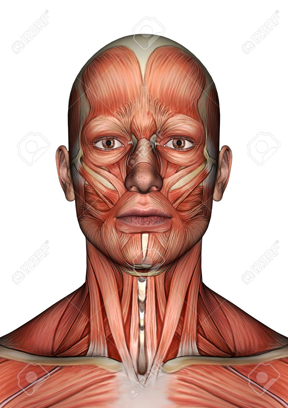 3D Digital Render Of A Male Anatomy Face With Muscles Map Isolated ...