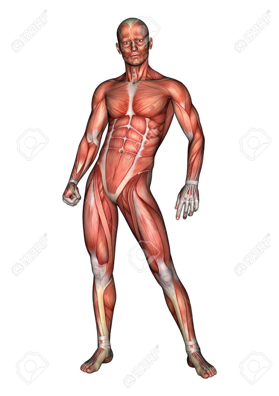 Wunderbar Männliche Anatomie 3d Modell Bilder - Anatomie Ideen ...