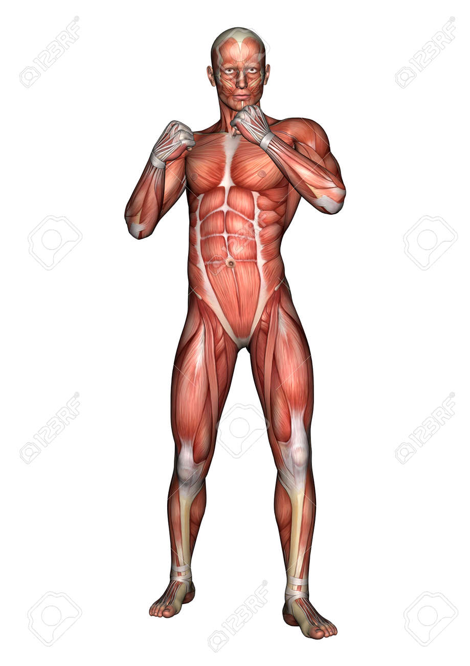3D Digital Render Of A Fighting Male Anatomy Figure With Muscles ...