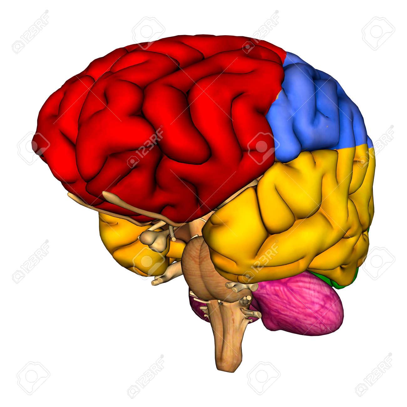 3d digital render of a human brain diagram isolated on white stock3d digital render of a human brain diagram isolated on white stock photo 24924769