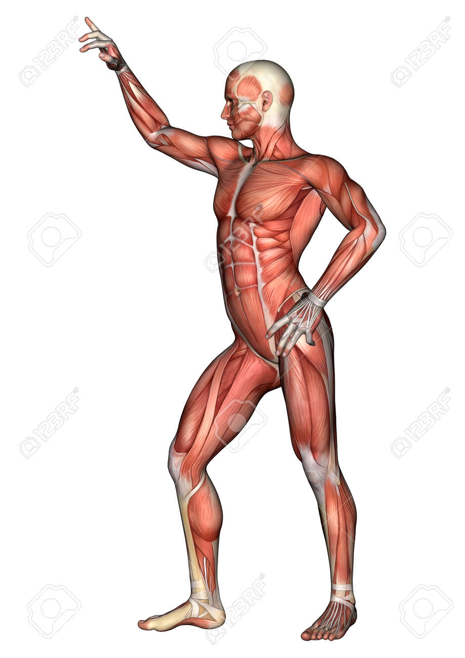 3d Digital Render Of A Standing Male Anatomy Figure With Muscles