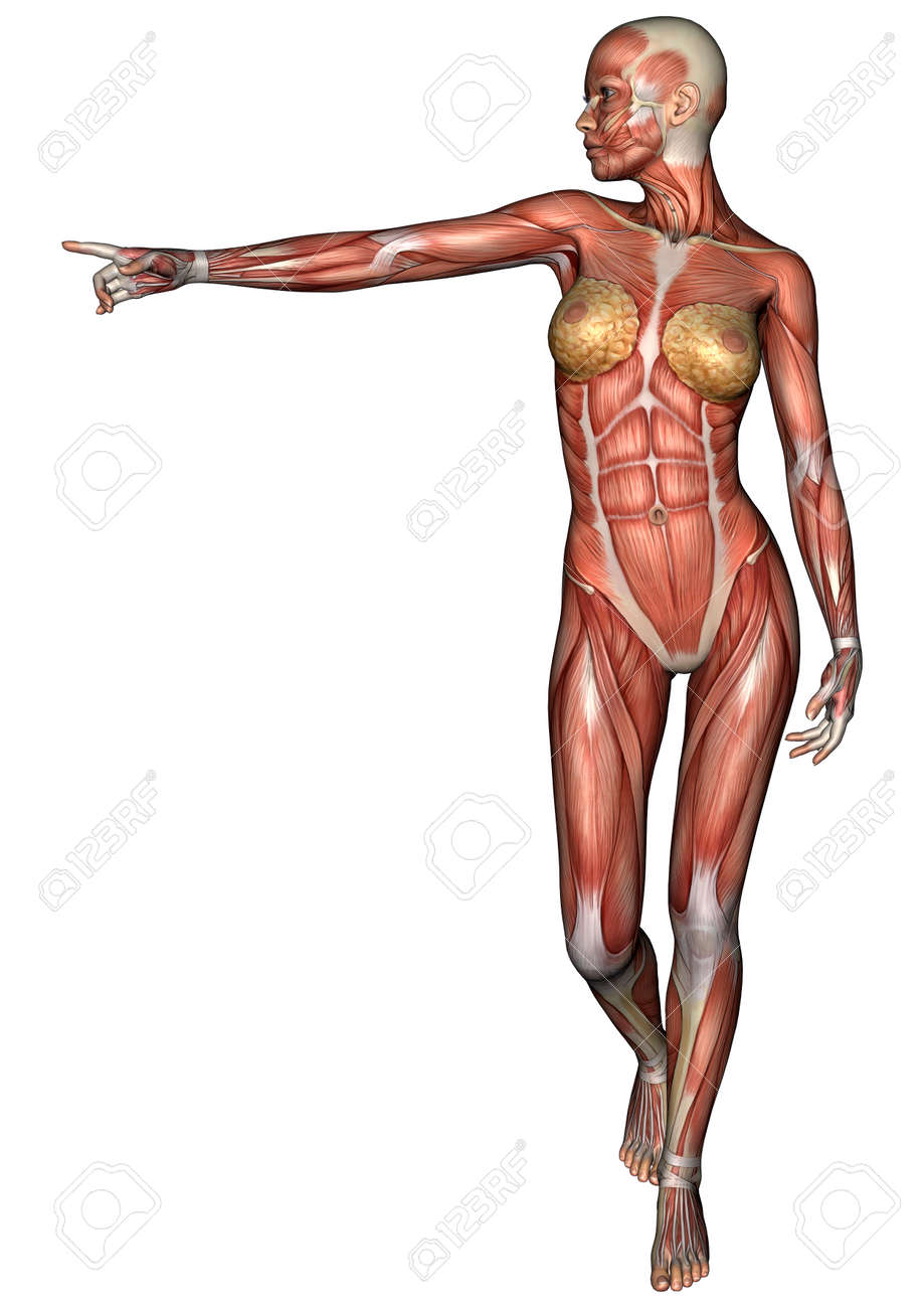 3d Digital Render Of A Female Anatomy Figure With Muscles Map