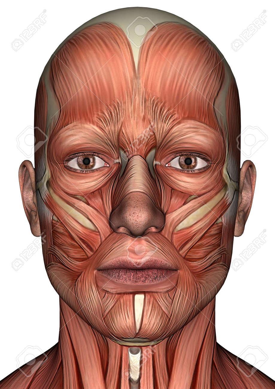 Digital 3D Render De Una Cara Anatomía Masculina Con Los Músculos ...