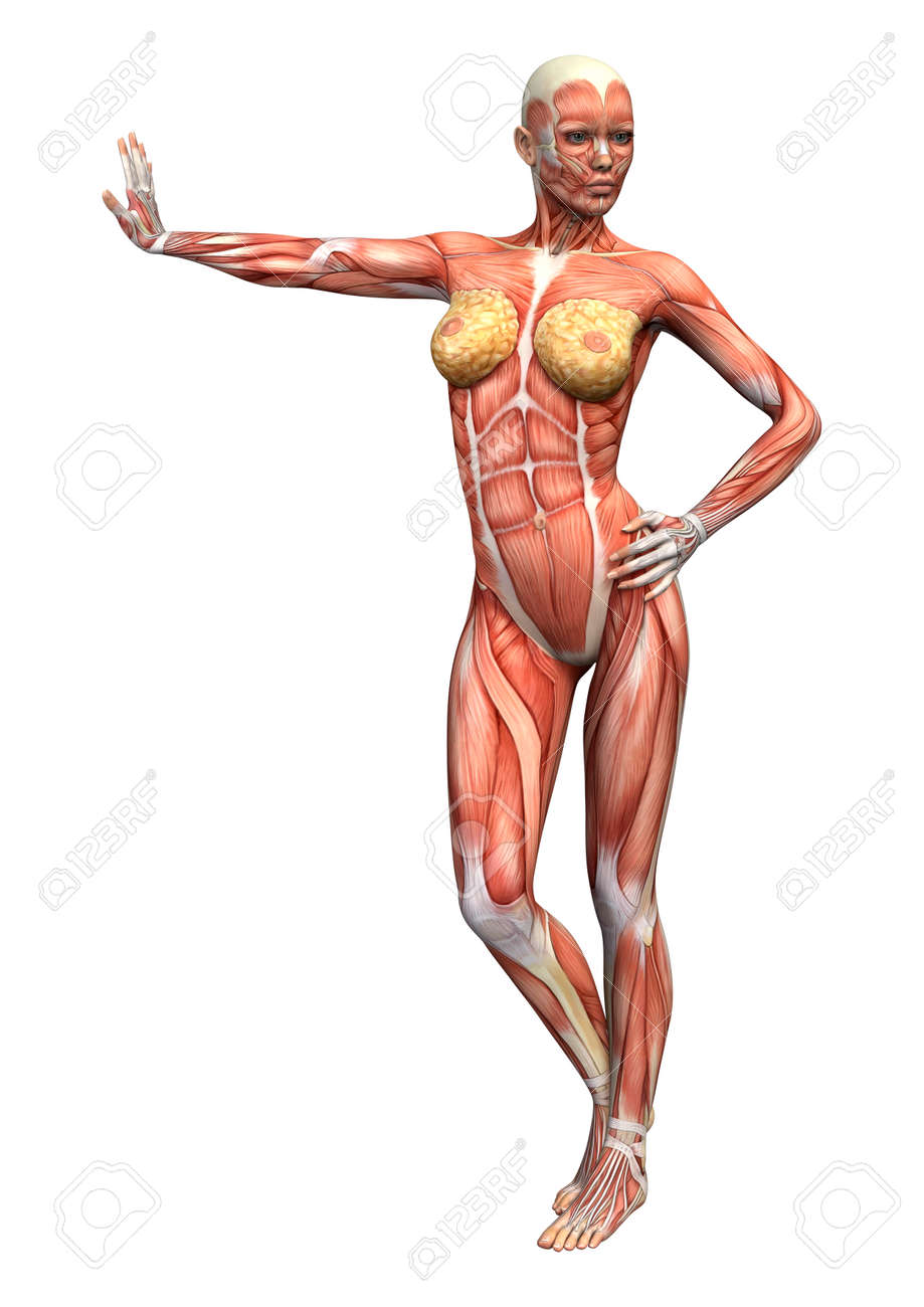 3D Digital Render Of A Female Anatomy Figure With Muscles Map ...