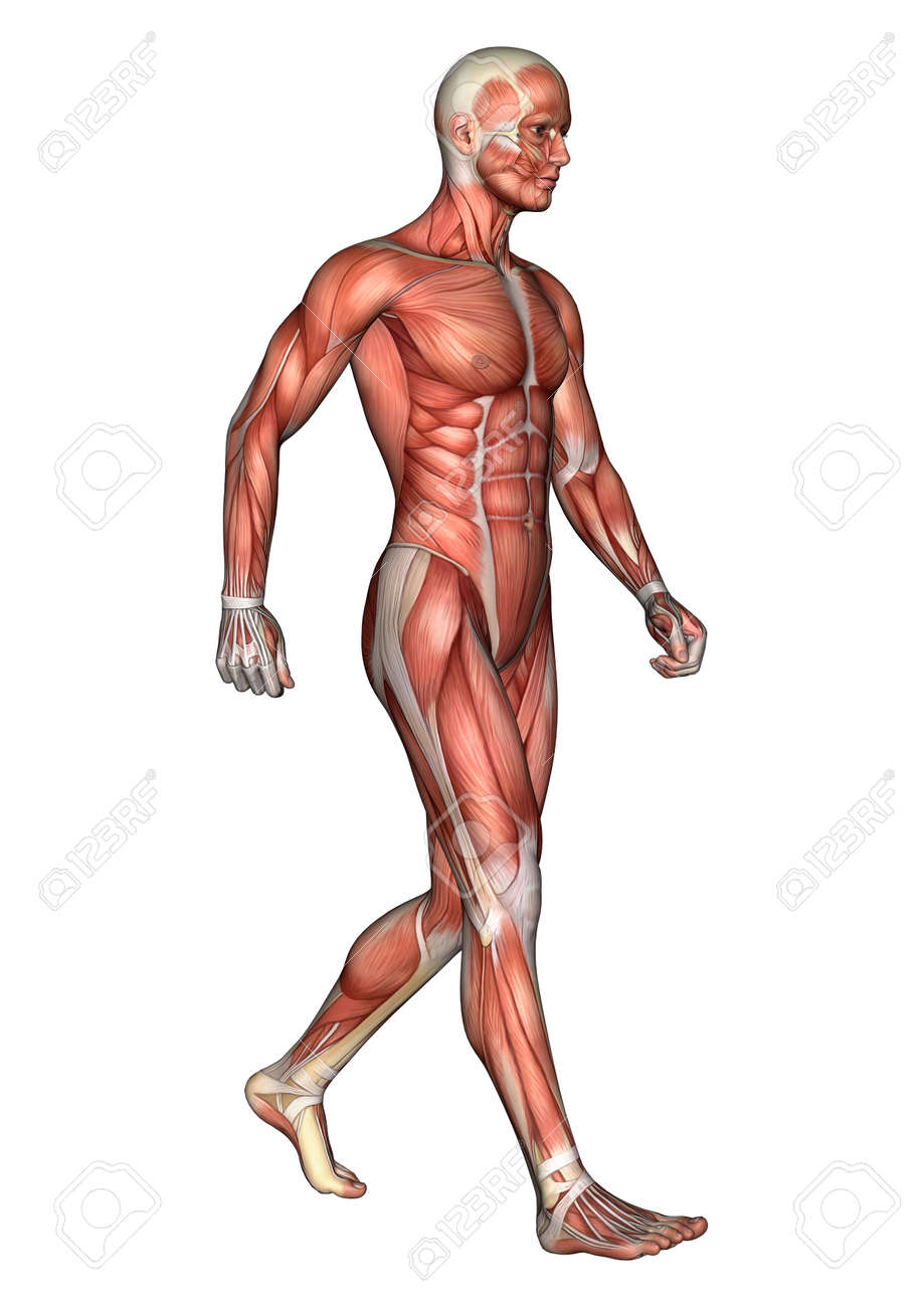 3D Digital Render Of A Walking Male Anatomy Figure With Muscles ...