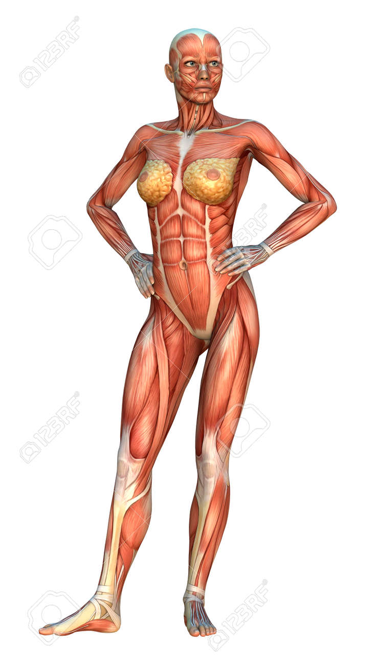 3D Digital Render Of A Female Figure With Muscle Maps Isolated ...