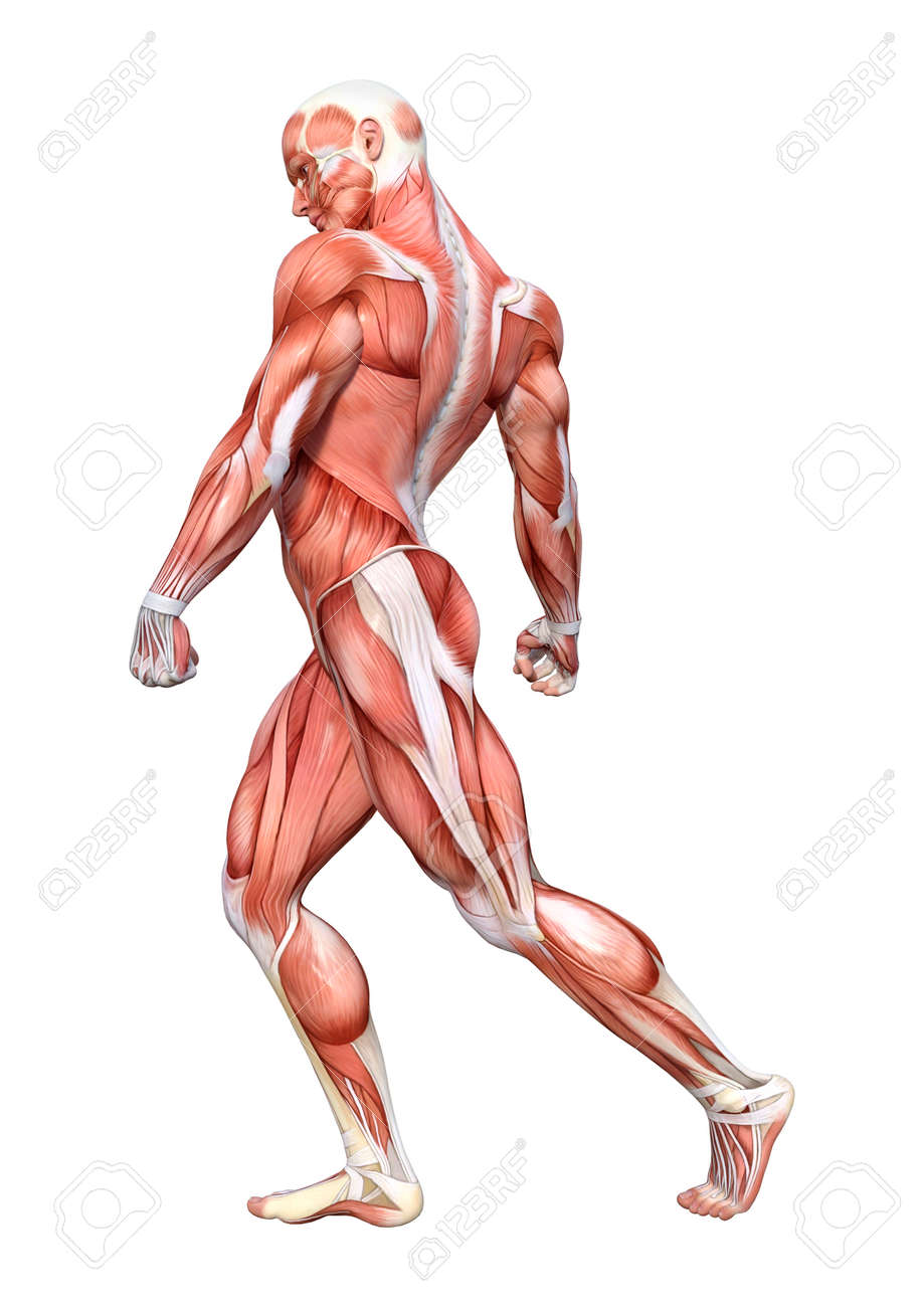 3d Rendering Of A Male Anatomy Figure With Muscles Map Isolated On
