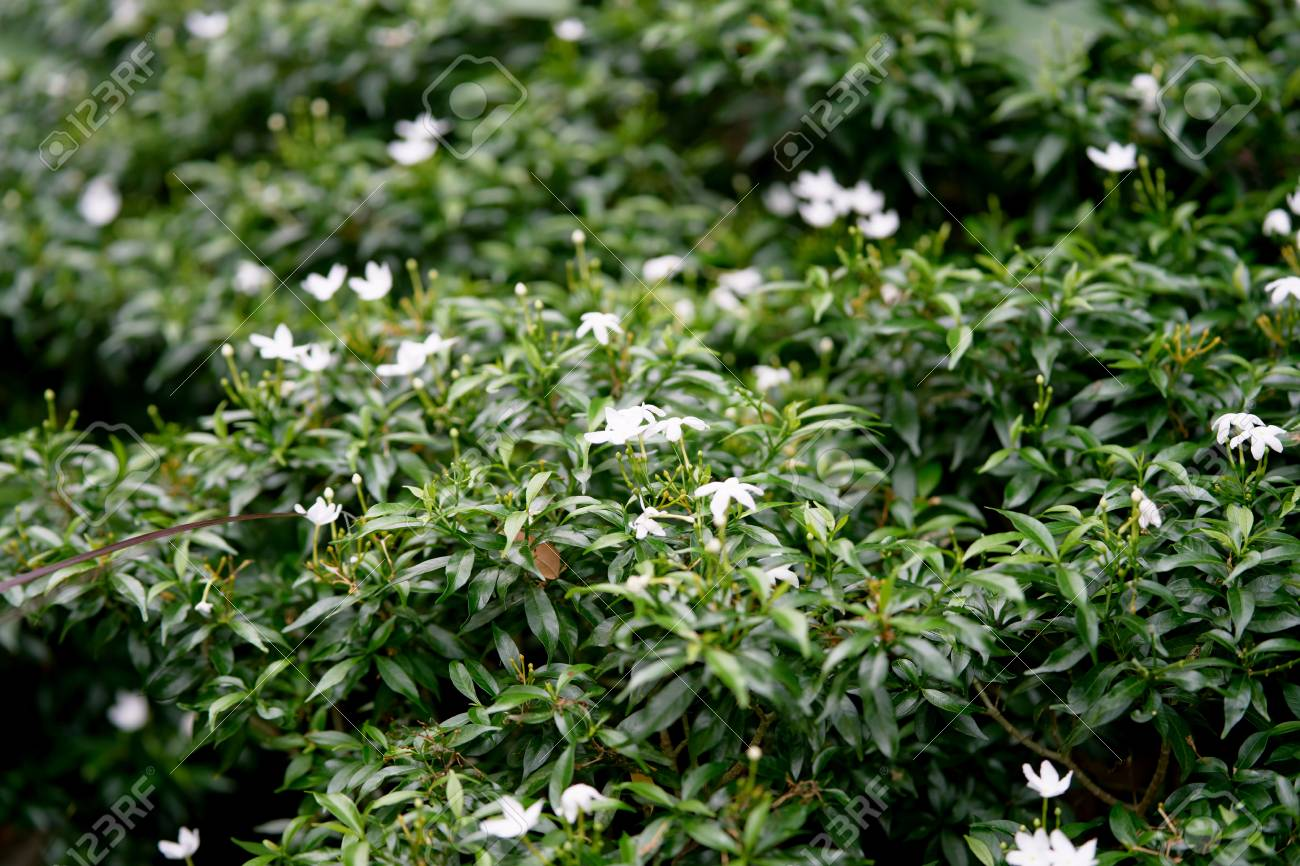 Small White Flowers On Bush In Garden Stock Photo Picture And