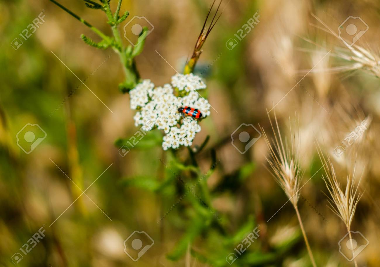 Red bug with black stripes sitting on white flowers stock photo red bug with black stripes sitting on white flowers stock photo 45292516 mightylinksfo