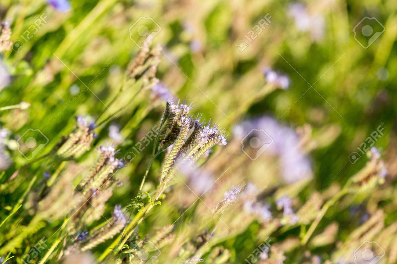 Phacelia Phacelia Tanacetifolia è Una Pianta Molto Interessante