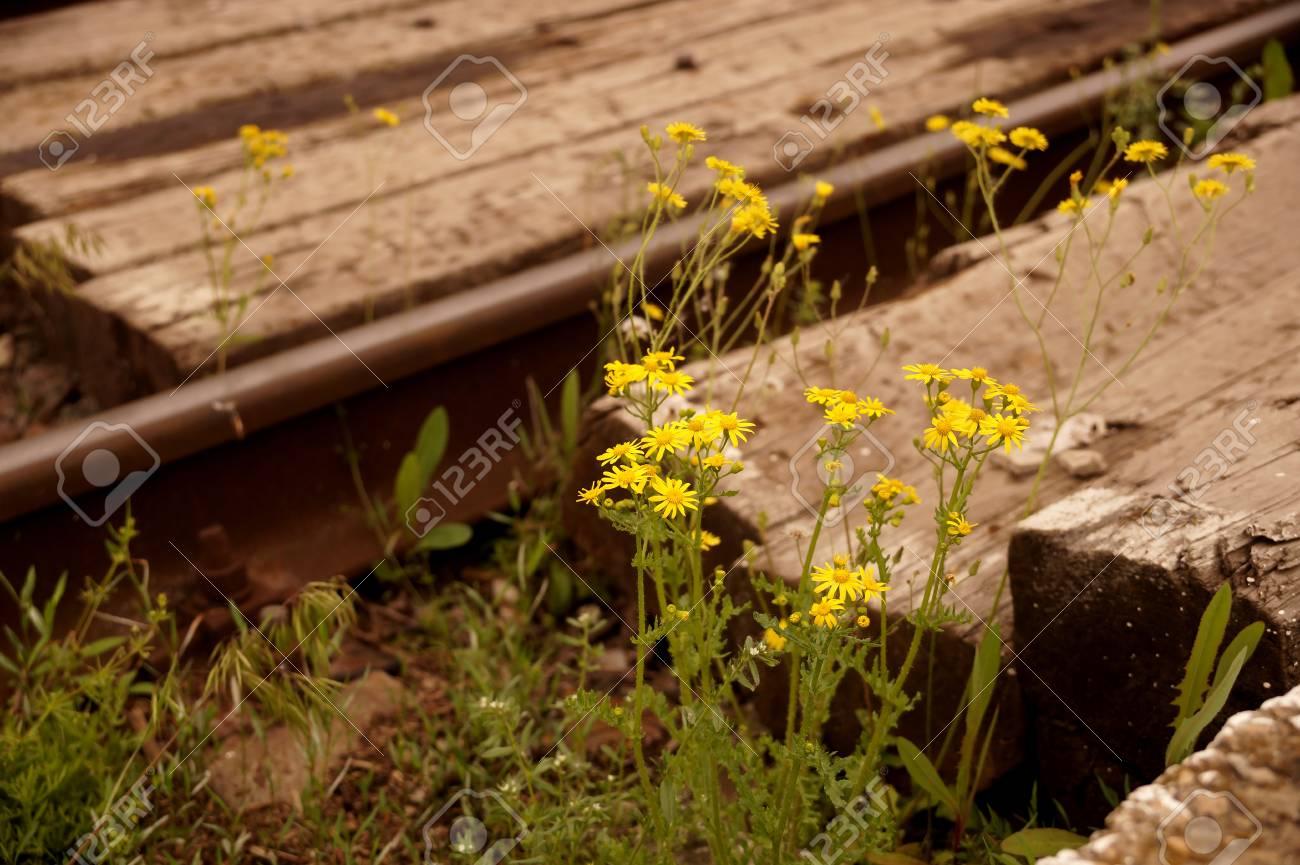 Fiori Primaverili Gialli.Immagini Stock Giallo Fiori Primaverili Sulla Ferrovia Nel