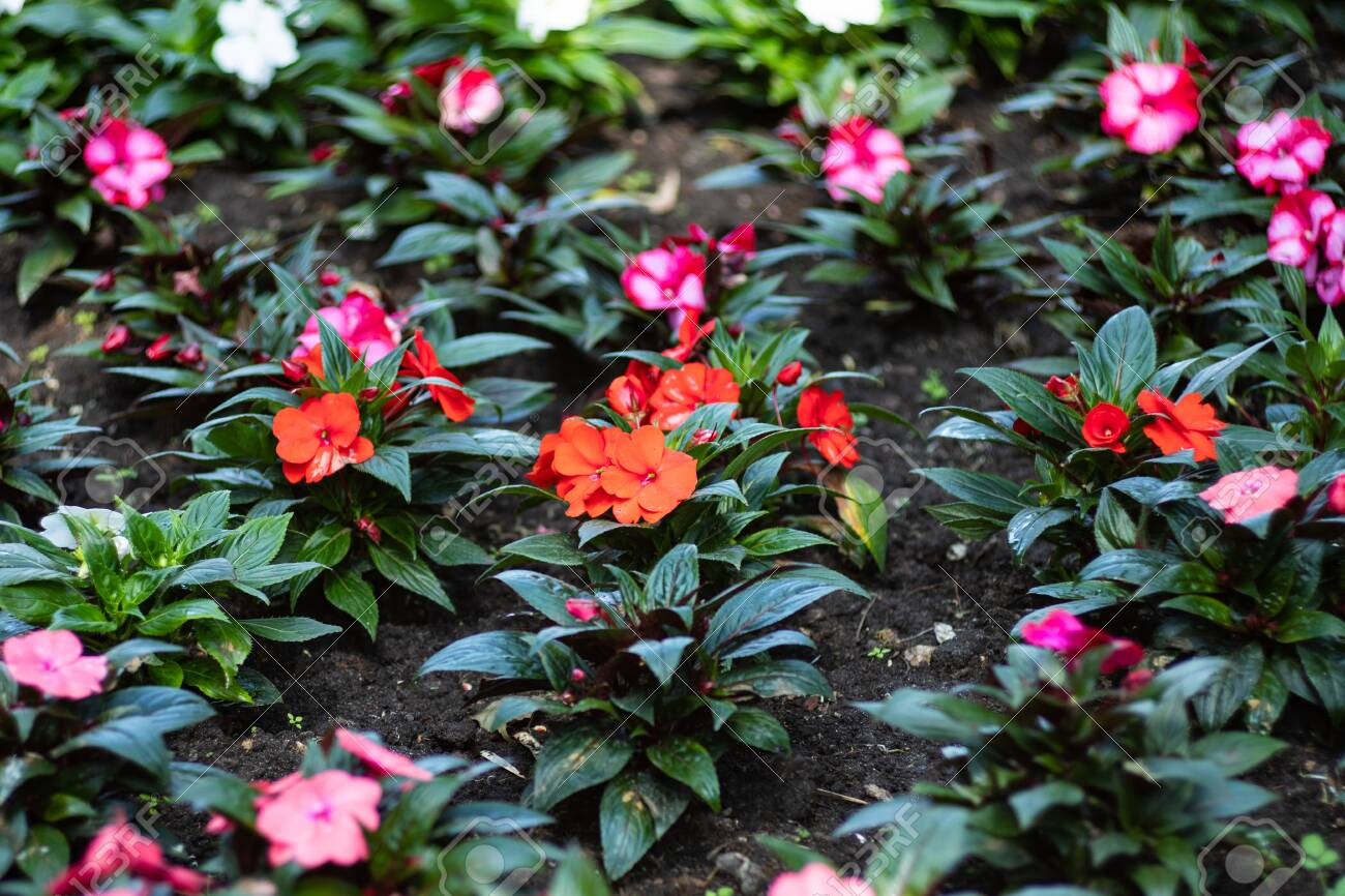 Multicolored Impatiens Plants Blooming Profusely In A Summer