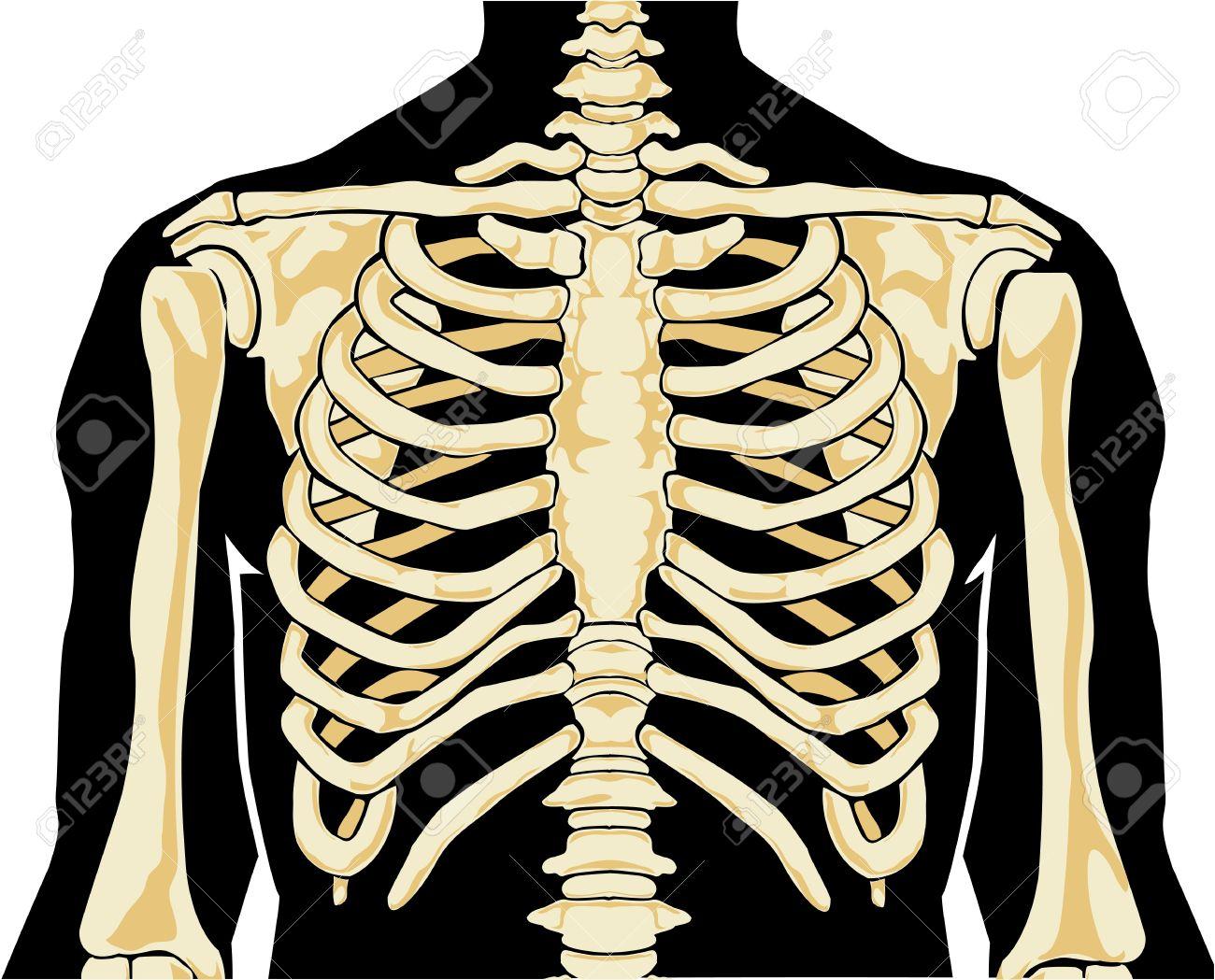 La Anatomía Humana. En El Pecho. Ilustración Del Vector ...