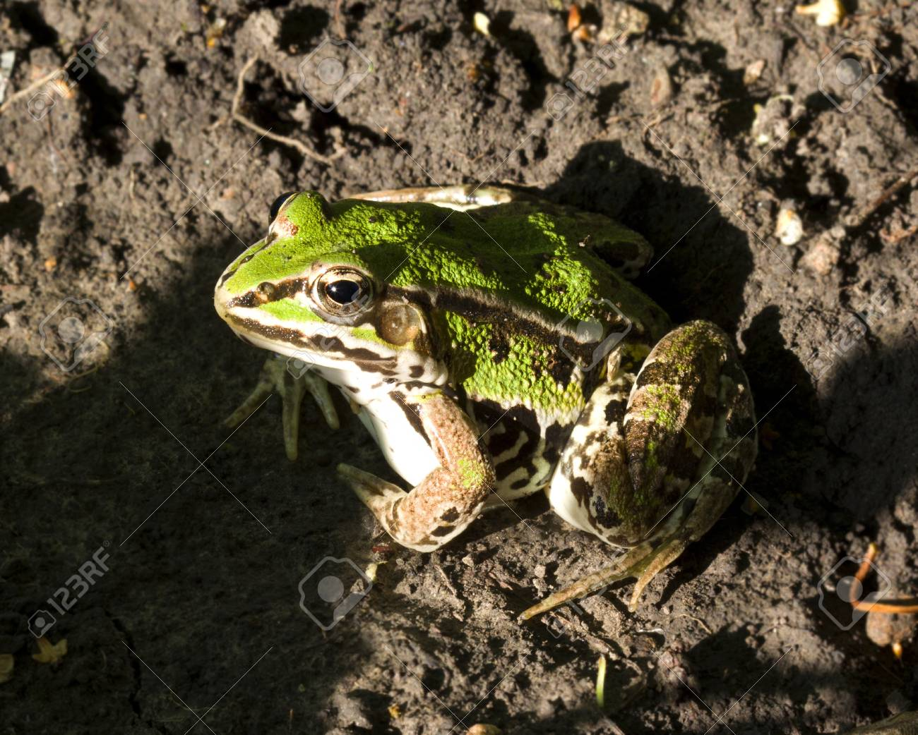 Pool Frog  Pelophylax lessonae  sitting on the ground  Close up Stock Photo - 14488791