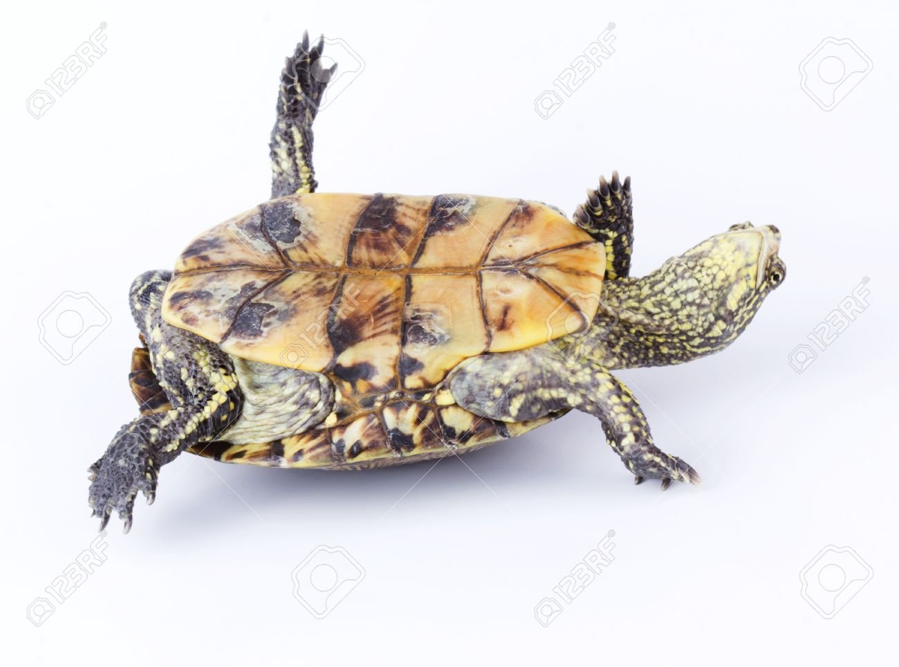 15414644-turtle-upside-down-on-its-back-