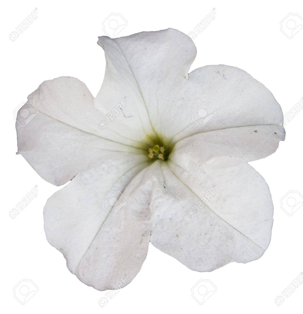 white petunia flower isolated over white background Stock Photo - 6036210