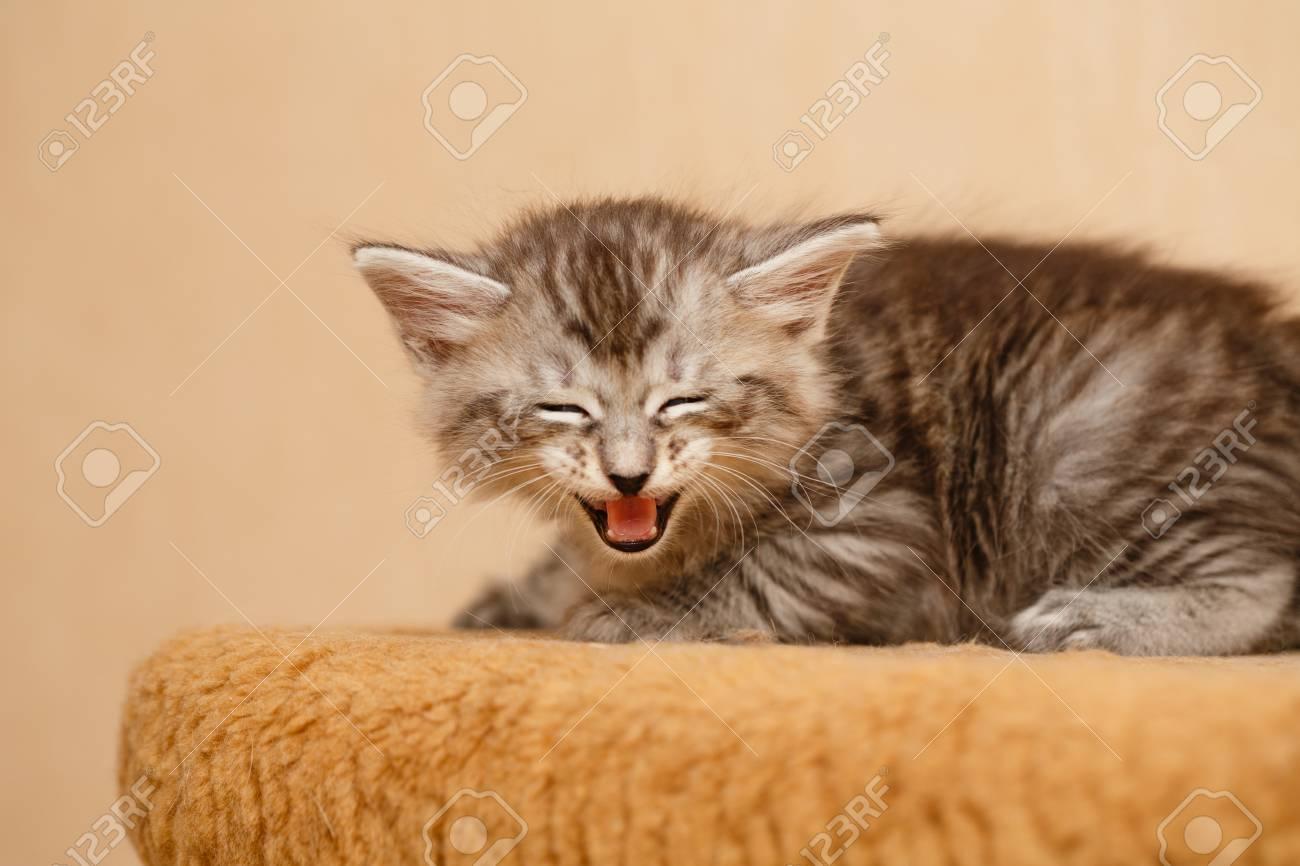Immagini Stock Il Simpatico Gattino è Arrabbiato E Sibilante