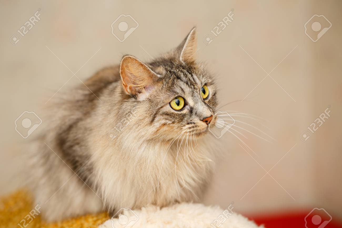 Sweet Fluffy Cat With Yellow Eyes Pets Hypoallergenic Breed