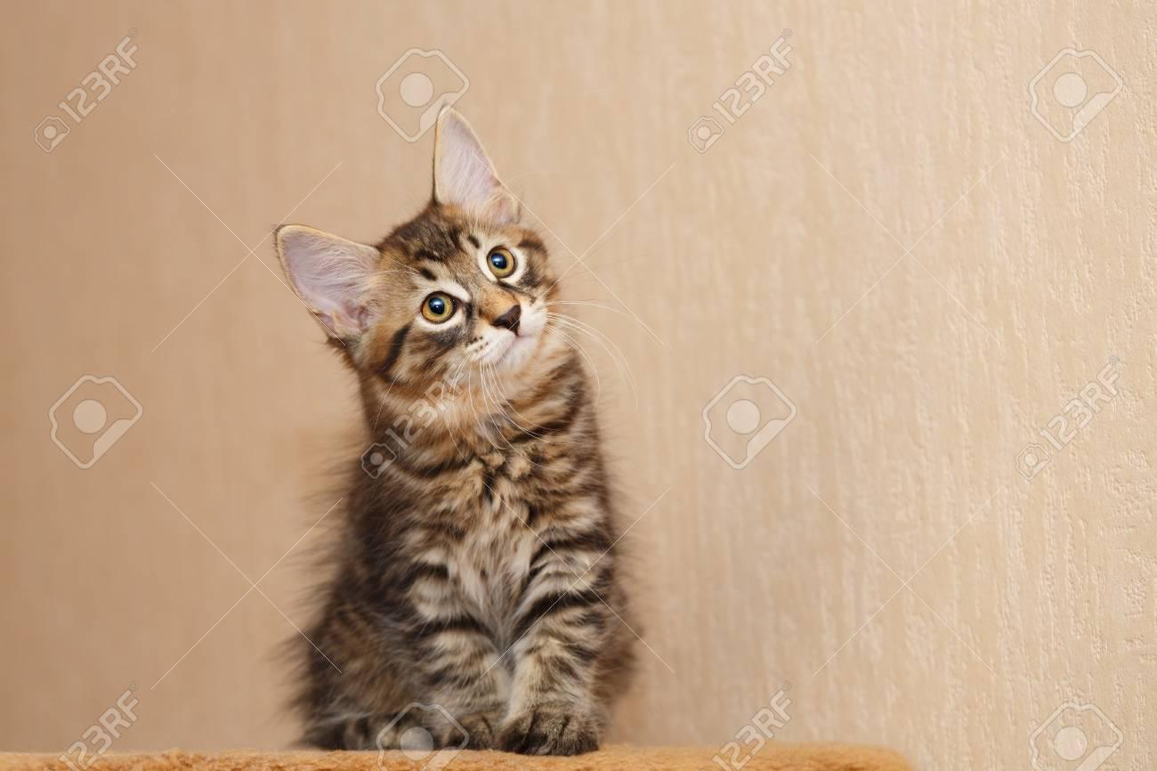 American Bobtail Cat Hypoallergenic