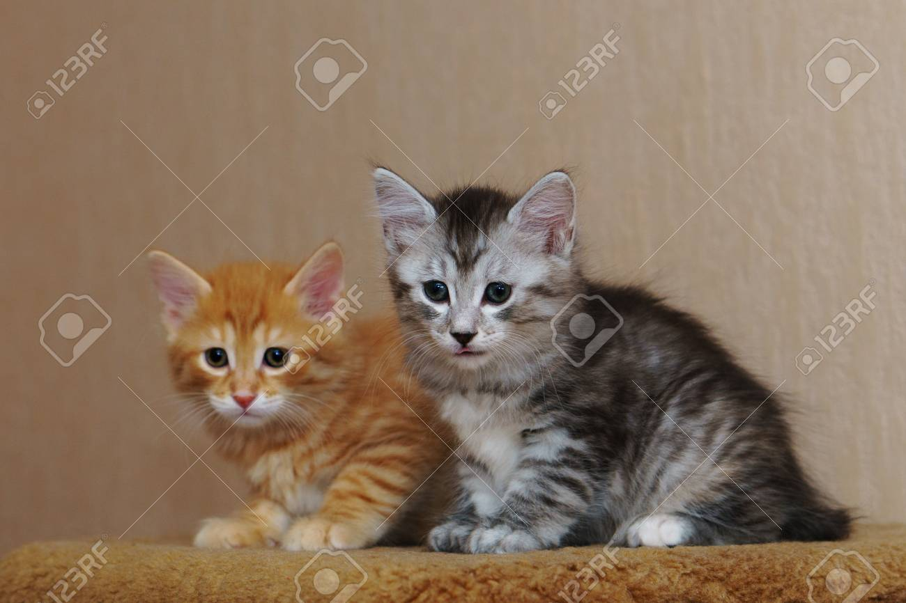 Two Cute Kittens Are Sitting Together Red And Gray Long Haired