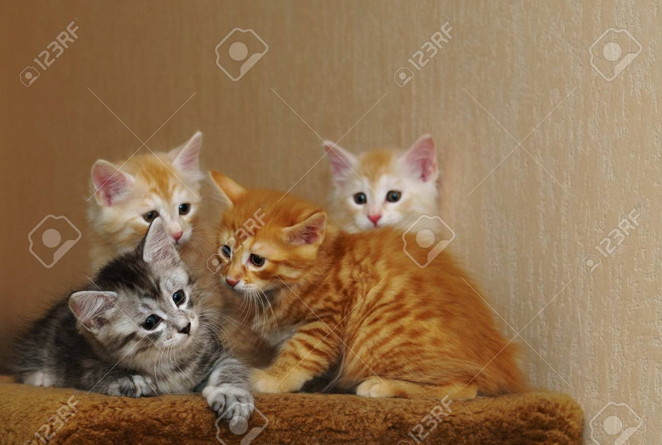 Four Cute Kittens Sit Together Three Red And Gray Long Haired