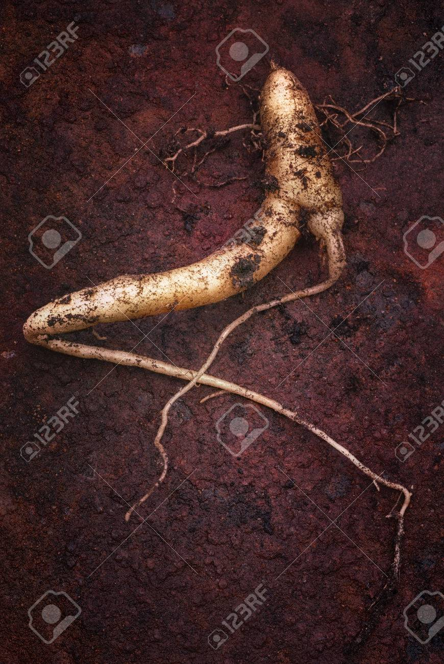 The True Mandrake Root Mandragora Officinarum In This Plant
