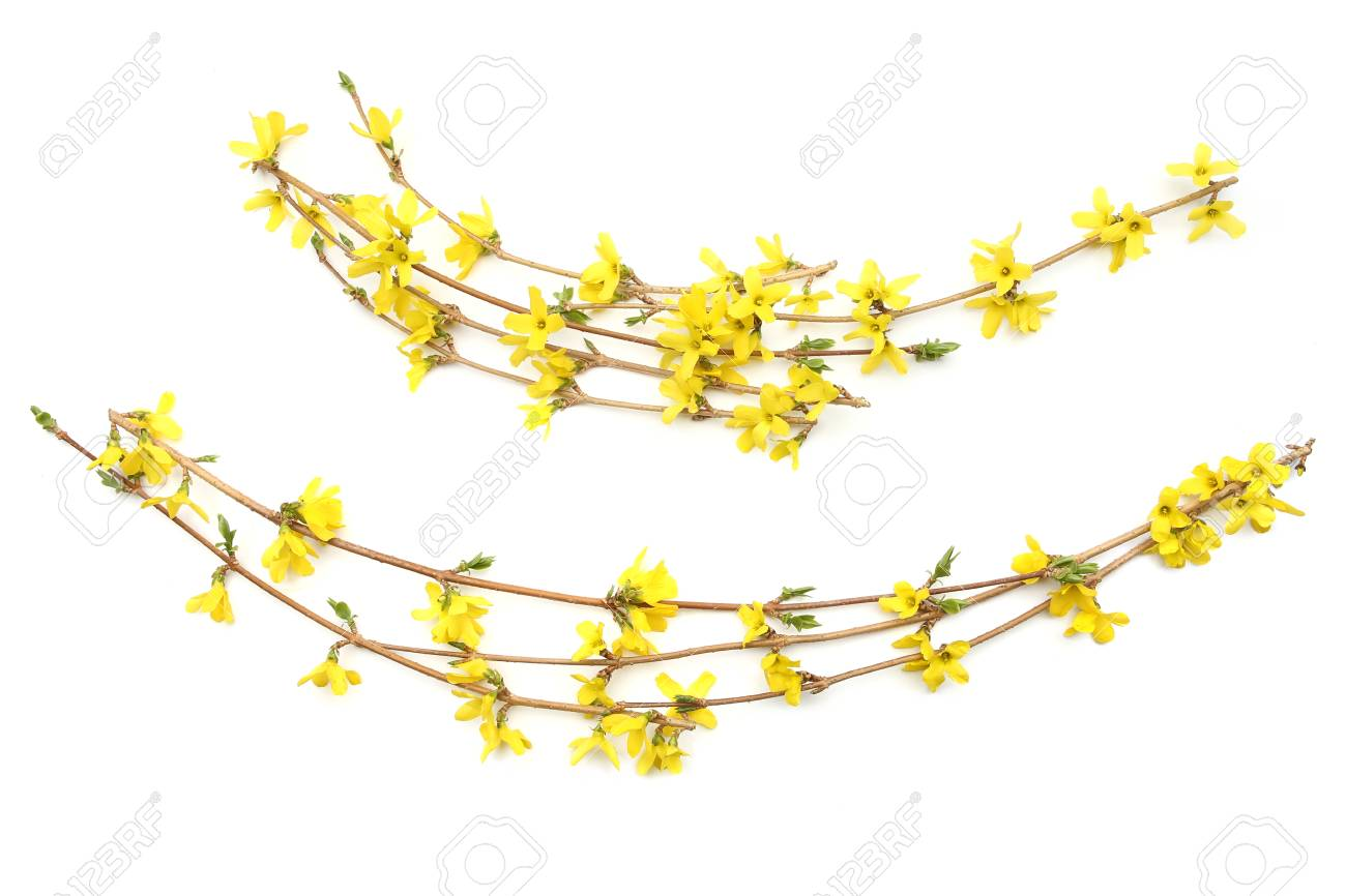 Forsythia Branches With Yellow Flowers Isolated On White